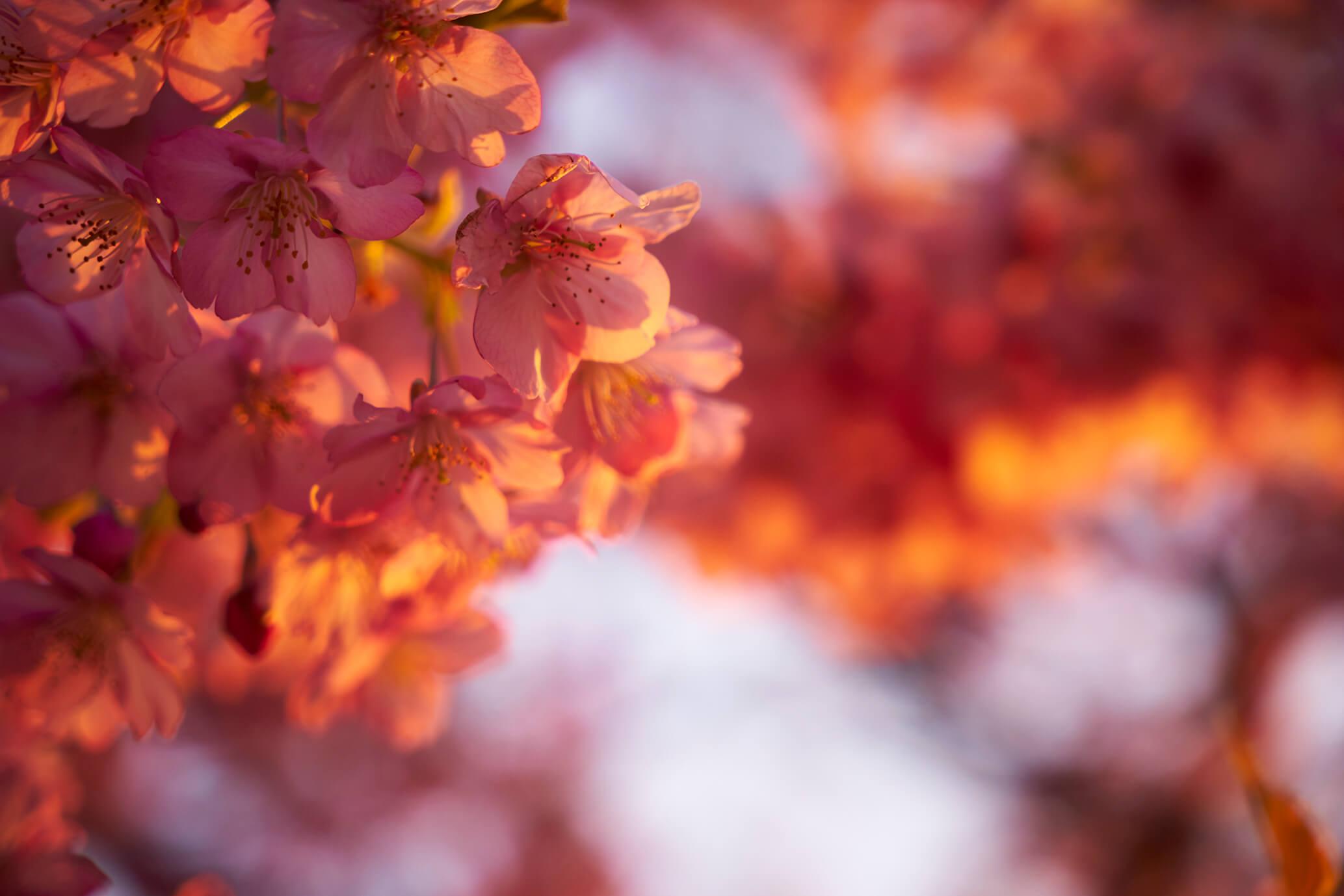 暖かそうな河津桜